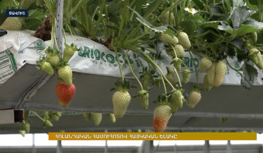 Armenian strawberries of Dutch origin take the market for four years now