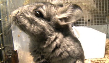 Number of chinchillas with expensive fur grows in Armenia