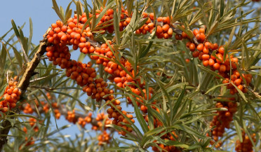 Only 20 percent of sea buckthorn realized in Sevan