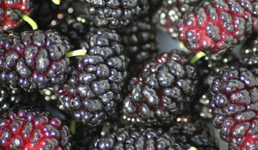 Mulberry festival to open in Goris