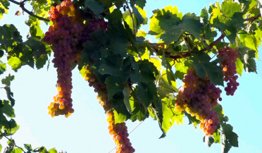 Vineyard owners close Armavir-Yerevan highway