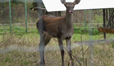 Red deer returns to Armenia