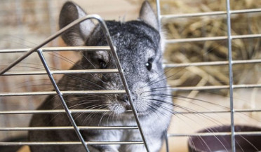 Chinchilla farming develops in Artsakh