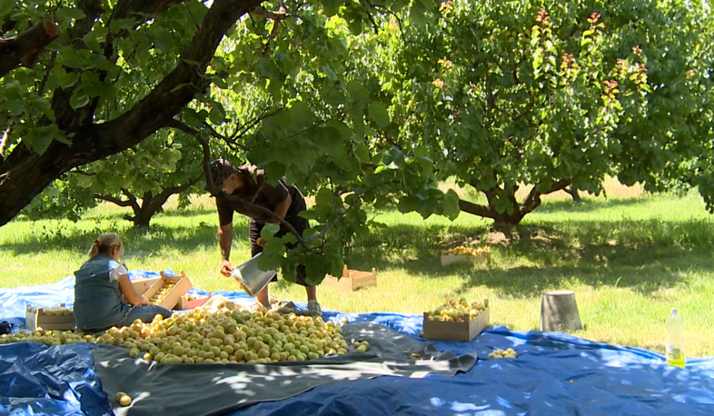 Apricot harvesting begins in Armenia
