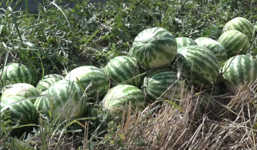 Young farmer complains of low watermelon prices